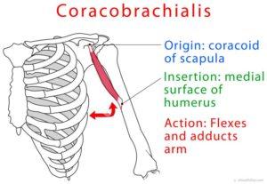 Coracobrachialis-muscle2