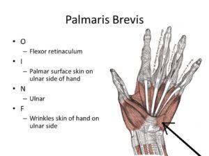 PALMARIS BREVIS