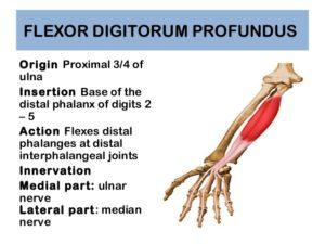 flexor digitorum profundus
