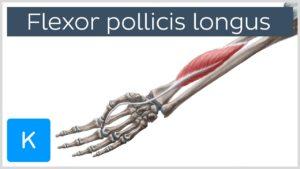 flexor pollisis longus