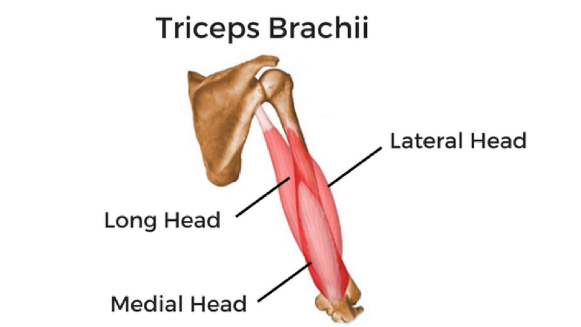 Triceps Muscle Free Classified Website Post Free Ads Online